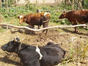 la race laitière pie rouge Norvegienne
